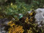 Aranyos rózsabogár (Cetonia aurata) 4.