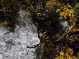 Aranyos rózsabogár (Cetonia aurata) 6.