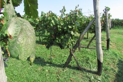 Kék szőlő 1.